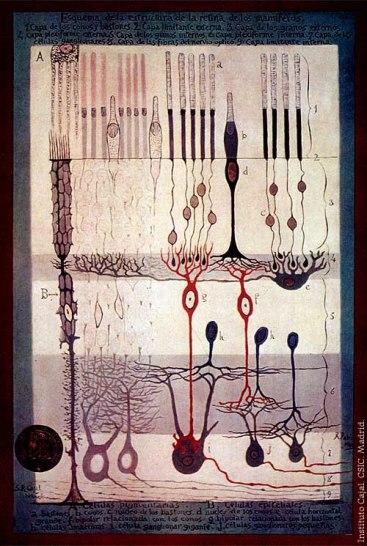 Dessin de Ramón y Cajal, extrait de %22Structure de la rétine des mammifères%22 Madrid, 1900.